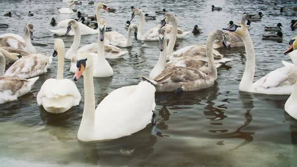 Swans on Water By the Riverbanck During Winter