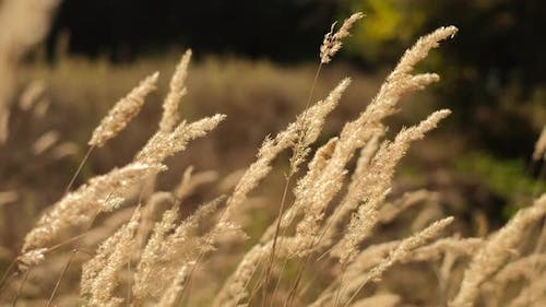 Nature. Wild grass blowing in the wind. Wild grass sway in the wind