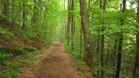Thumbnail for Walking on a Path in the Green Forest, Steady Cam Shot. Pov of Hiker Walking on Trail Through the
