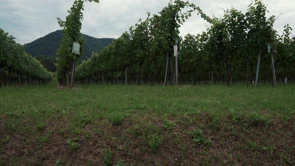 Landscape of Plantation of Vineyard