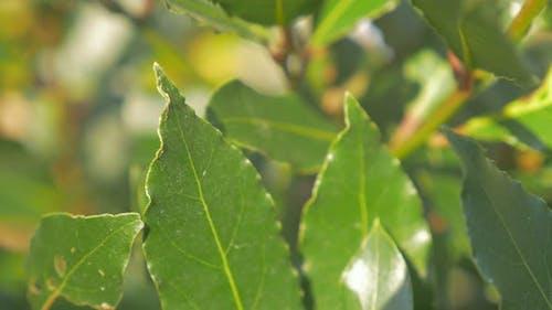 Laurus nobilis laurel tree green leaves outdoor 4K 2160p UHD footage - Laurel slow panning tree  lea