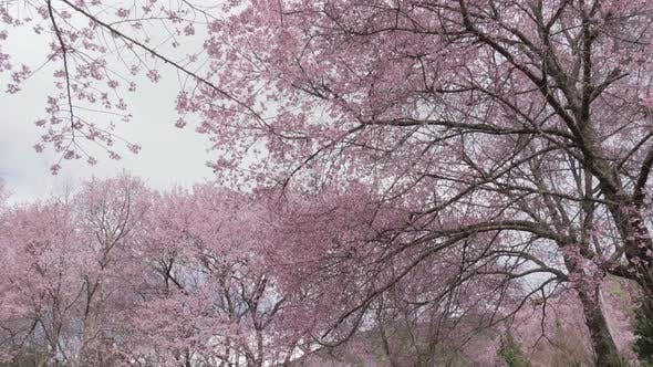 Thumbnail for Cherry Blossom Tree in Spring