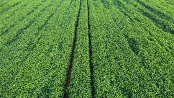Cover Image for Aerial Shot of Green Soybean Field