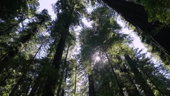 Fallen Redwood Tree