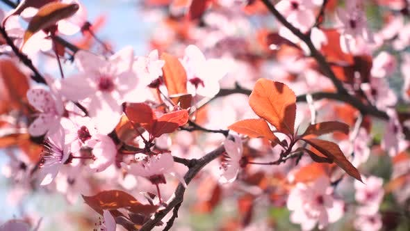 Thumbnail for Pink Blooming Cherry Tree 2