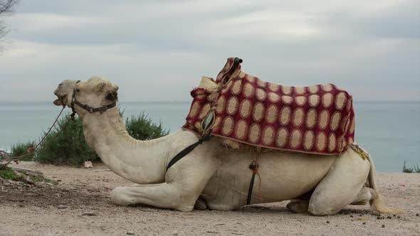 Thumbnail for morocco camel animal desert sahara nature