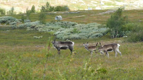 Cover Image for Reindeer in Saltfjellet–Svartisen National Park