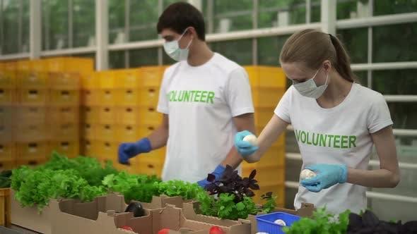 Freiwillige packen Gemüse ein, um armen Spbd Mann und Frau in Tshirt und Maskenhilfe während der Pandemie zu spenden