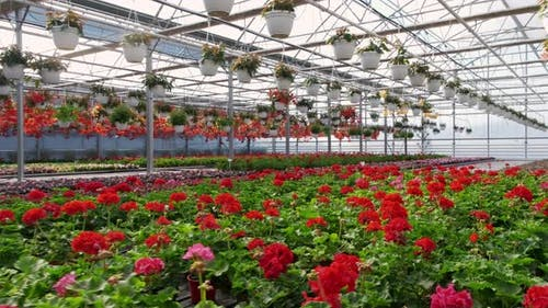 A Greenhouse Full of Red and Pink Flowers