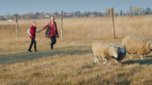 Cover Image for Middle-aged Woman with a Child Having Fun on a Farm - Running After a Herd of Sheep