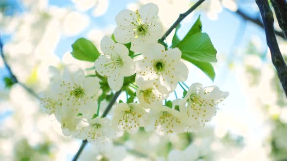 Thumbnail for White Blooming Cherry Tree