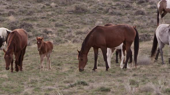 Thumbnail for View of wild horse herd grazing