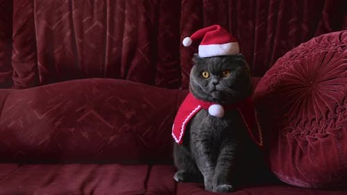 Grey British cat in red Santa Claus hat sitting on sofa and funny look in cam