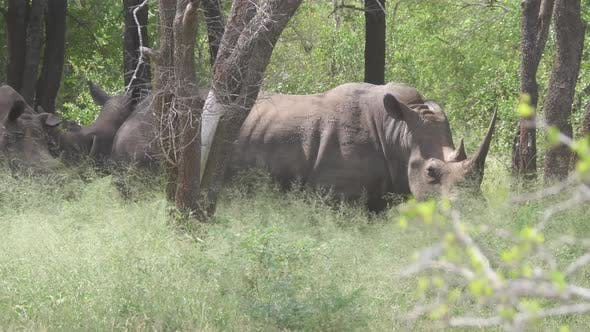 Thumbnail for Group of rhinos in the forest of Hlane Royal National Park