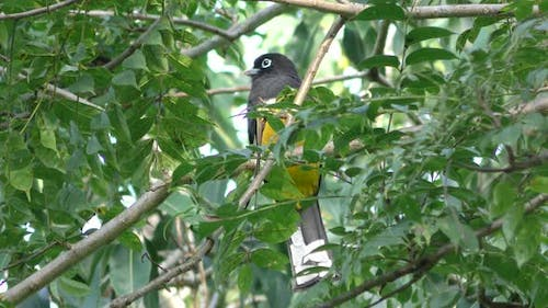 Black-headed Trogon Adult Lone Perched in Spring in Belize