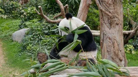 Thumbnail for Panda eat bamboo