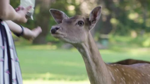 A Woman Feeds a Fallow Deer Doe in a Meadow By a Forest - Closeup