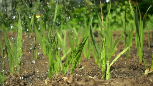 Thumbnail for Drops of Clean Water Irrigate Dry Soil and Shoots of Green Plants, Slow Motion