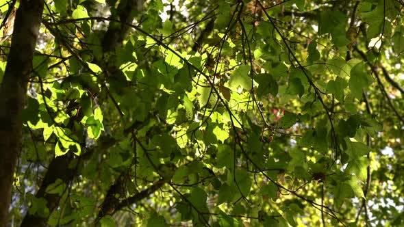 Thumbnail for Green Spring Tree