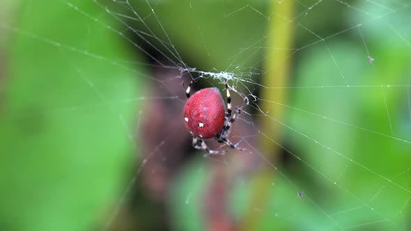 Cover Image for Big Red Spider Waiting on Spider Web