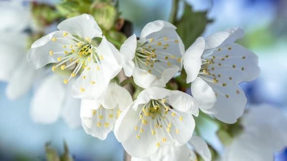 Cherry Blossom Timelapse Rotating on Blue