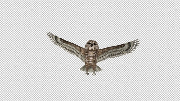 Owl - Spotted - Flying Transition III