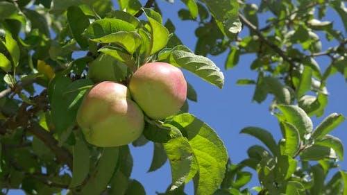 Apples healthy organic fruit in 4K UHD 3840X2160 footage - Healthy apples UHD 4K high definition  vi