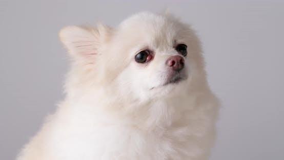 Thumbnail for Pomeranian Dog Feeling Sad