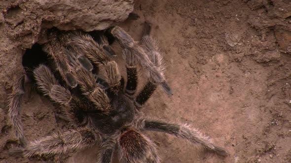 Thumbnail for Huge Tarantula Spider in its Natural Habitat