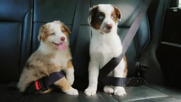 Two Puppy Passengers Traveling Together in the Back of the Car