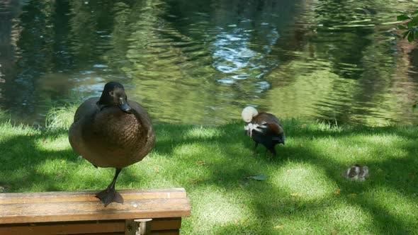 Mallard duck stand at bench with one leg at Botanical Garden, Christchurch