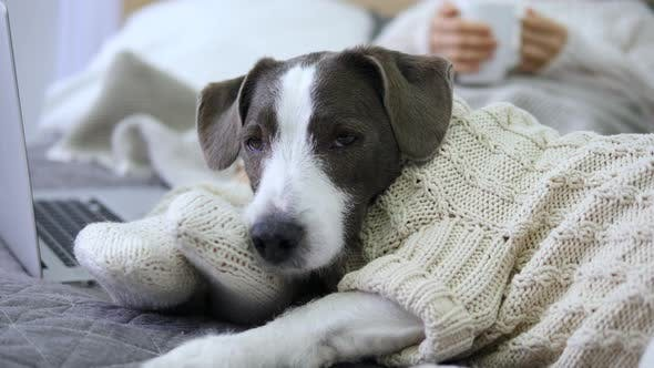 Thumbnail for Sleepy Dog Lying On Bed With Woman Watching Movie On Laptop. Cozy Hygge Lifestyle.
