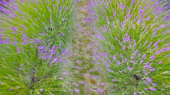 Early Flowering of the Lavender Plant