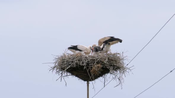 Thumbnail for Storks Family Are Sitting in the Nest on Pillar of High Voltage Power Lines on Sky Background