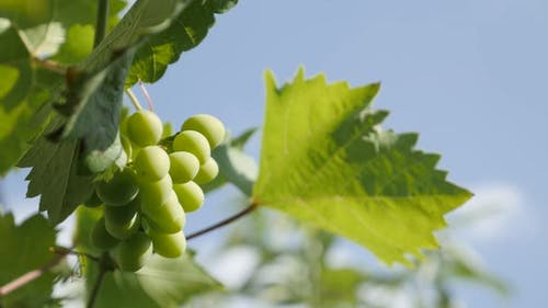 Immature fruit on grapevines branches 4K video