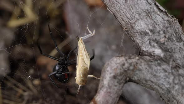 Thumbnail for Black Widow Spider with grasshopper stuck in its web
