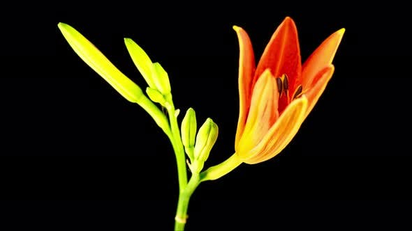 Thumbnail for Time Lapse of Beautiful Red Lily Flower Blossoms