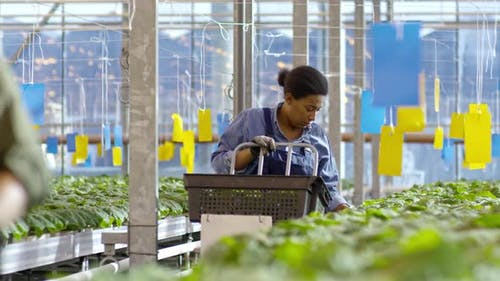 African Woman Working in Greenhouse