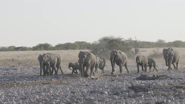 Thumbnail for Elephant Family Walking in Line