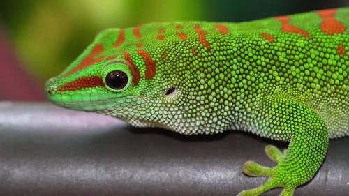 Macro of Day gecko as it turns around