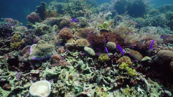 Thumbnail for Coral Reef and Tropical Fish Underwater. Camiguin, Philippines