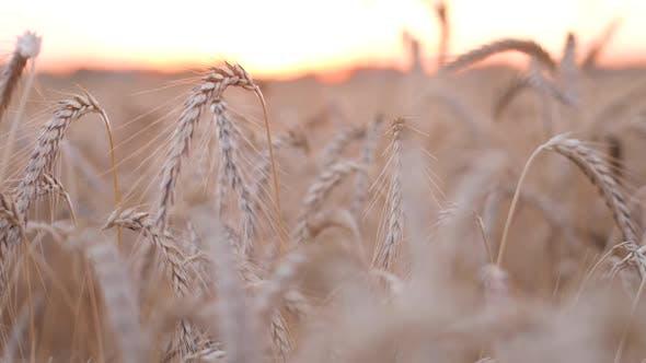 Thumbnail for Bokeh Wheat Sunset