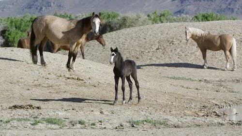 Wild horse colt walking near pond then running back to safety of mother