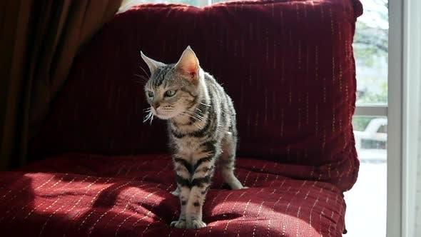 Nettes amerikanisches kurzes Katzenhaar, das auf Sofa