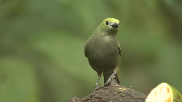 Palm Tanager Lone Perched Turning Around in Costa Rica