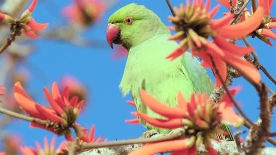 Une vidéo 4k du vert Parrot boit nectar de fleurs rouges
