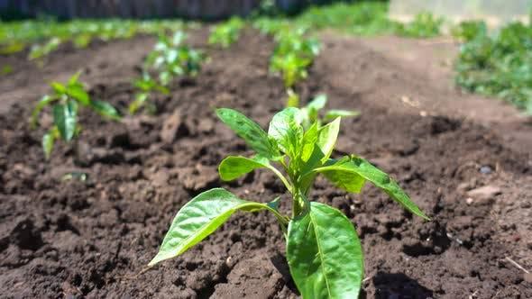 Thumbnail for Rows of Pepper Seedling Grow on Fertile Soil on an Eco-friendly Farm