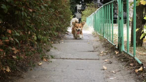 Thumbnail for Funny Welsh Corgi Fluffy Dog Walking Outdoors 3