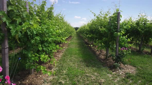 Green Grape Plants in the Middle of Nature