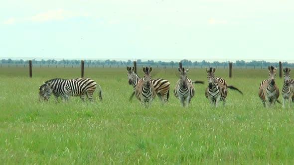 Thumbnail for Group of Zebras in the Desert